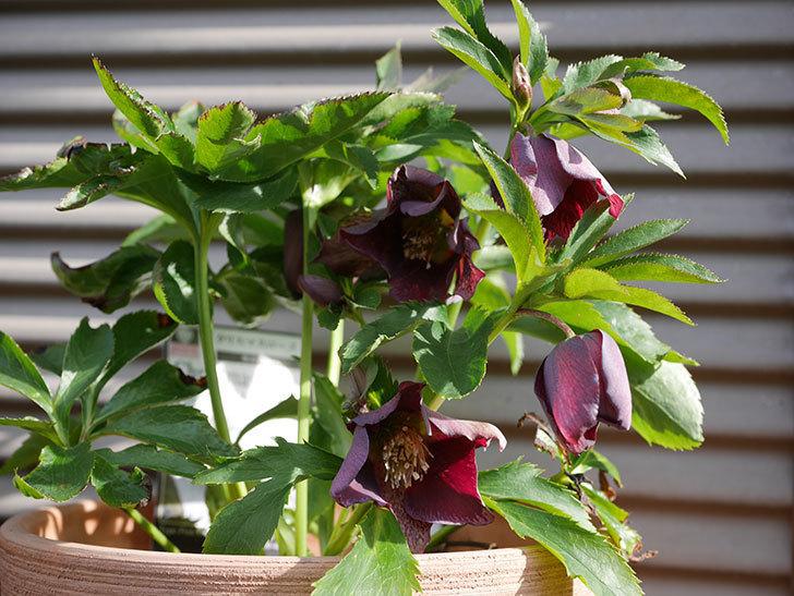 オリエンタリス-紫のシングルの花が増えて来た。2020年-9.jpg