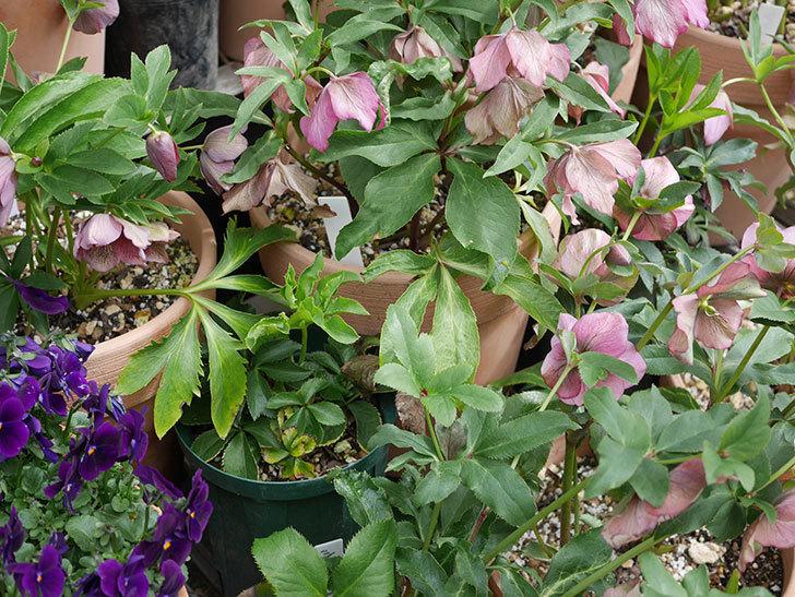 オリエンタリス-紫のシングルの花が満開になった。2020年-2.jpg