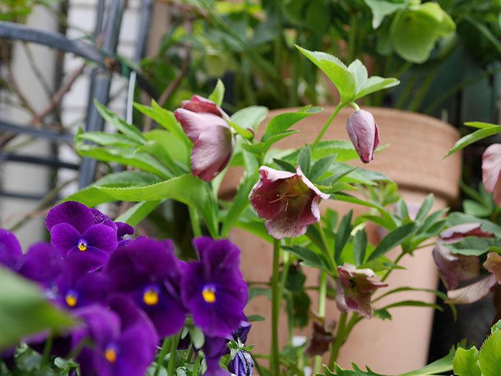 オリエンタリス-紫のシングルの花が満開になった。2020年-6.jpg
