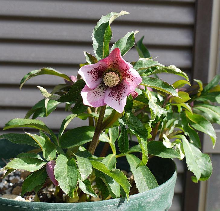 オリエンタリス-紫のシングルの花が続々と咲きだした。2017年-2.jpg