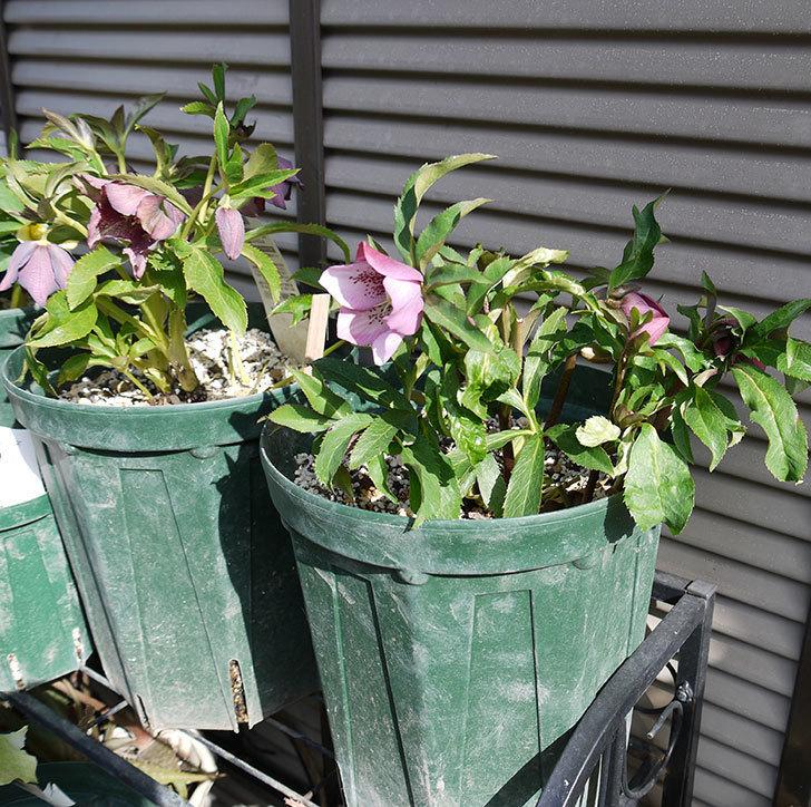 オリエンタリス-紫のシングルの花が続々と咲きだした。2017年-6.jpg