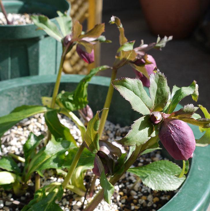 オリエンタリス-紫のシングルの花が続々と咲きだした。2017年-8.jpg