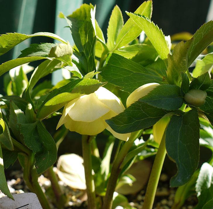 オリエンタリス-黄緑のシングルの花が1個咲いた。2017年-4.jpg