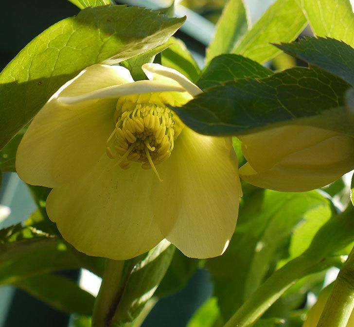 オリエンタリス-黄緑のシングルの花が1個咲いた。2017年-5.jpg