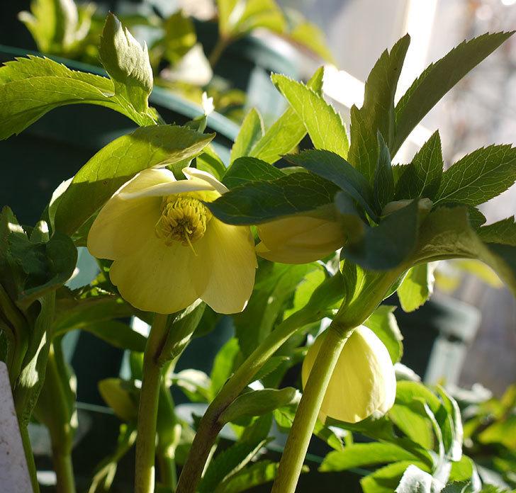 オリエンタリス-黄緑のシングルの花が1個咲いた。2017年-6.jpg