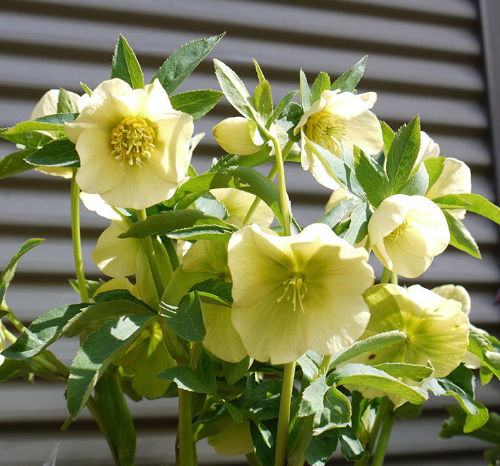 オリエンタリス-黄緑のシングルの花がたくさん咲いた。2017年-1.jpg