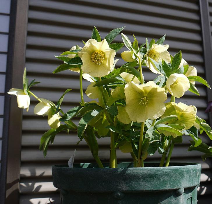 オリエンタリス-黄緑のシングルの花がたくさん咲いた。2017年-2.jpg
