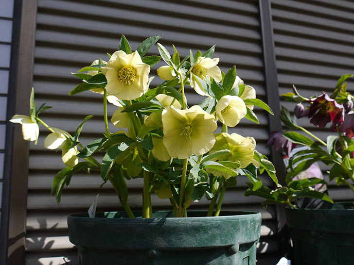 オリエンタリス-黄緑のシングルの花がたくさん咲いた。2017年-4.jpg