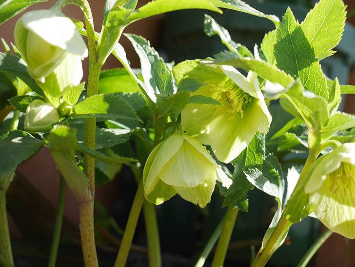オリエンタリス-黄緑のシングルの花が咲いた。2020年-1.jpg