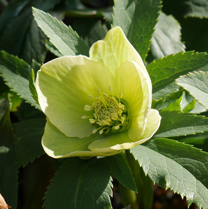 オリエンタリス-黄緑のシングルの花が咲いた。2020年-3.jpg