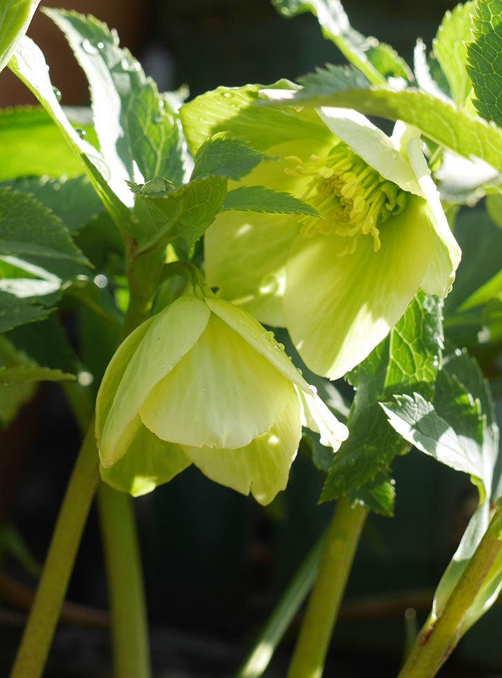 オリエンタリス-黄緑のシングルの花が咲いた。2020年-5.jpg