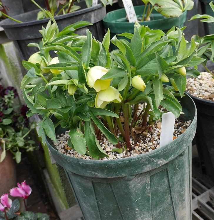 オリエンタリス-黄緑のシングルの花が咲きだした。2018年-2.jpg