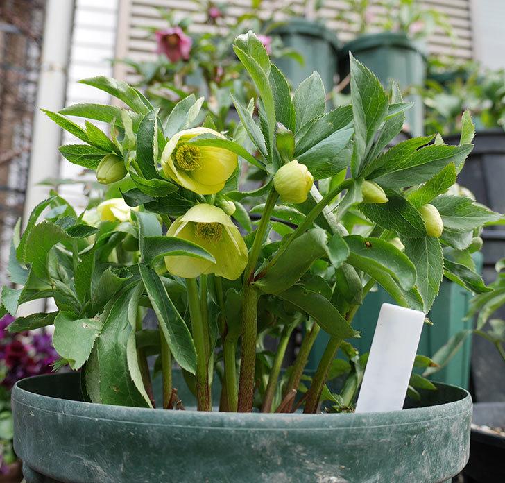オリエンタリス-黄緑のシングルの花が咲きだした。2018年-4.jpg