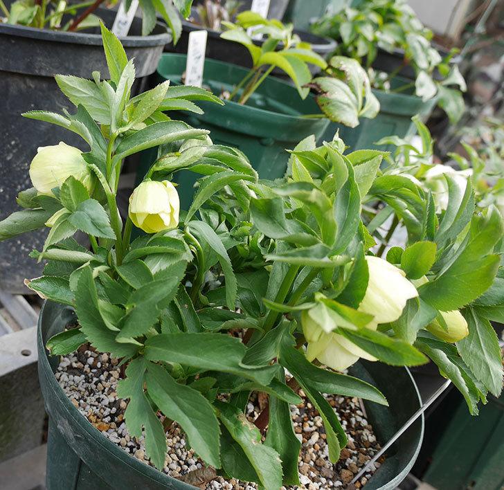 オリエンタリス-黄緑のシングルの花が咲きだした。2018年-7.jpg