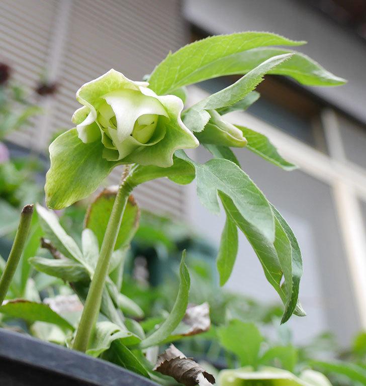 オリエンタリス-黄緑のシングルの花が咲きだした。2019年-6.jpg