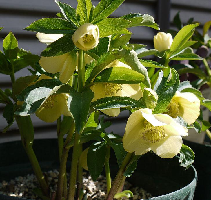 オリエンタリス-黄緑のシングルの花が増えてきた。2017年-1.jpg