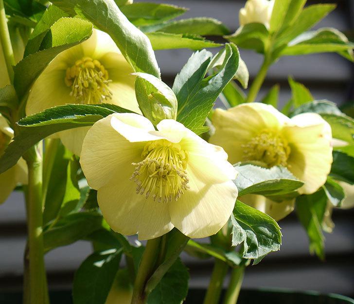 オリエンタリス-黄緑のシングルの花が増えてきた。2017年-2.jpg