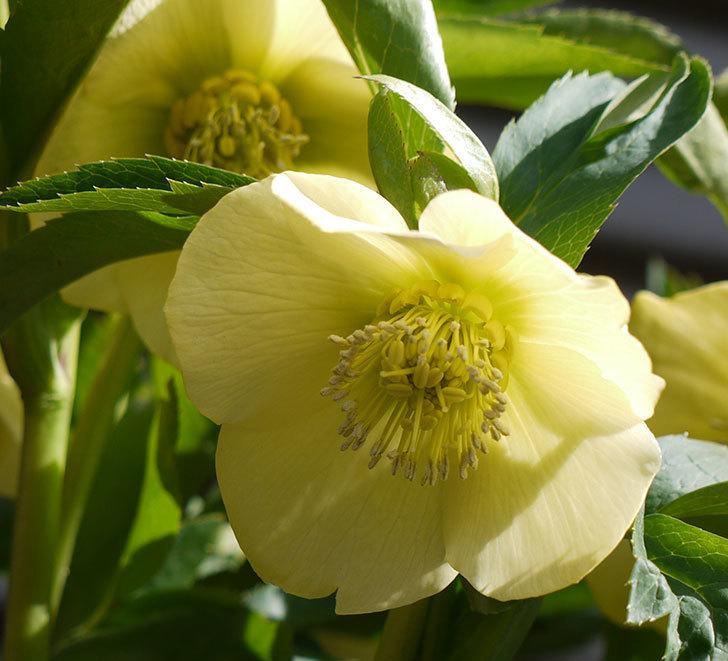 オリエンタリス-黄緑のシングルの花が増えてきた。2017年-3.jpg