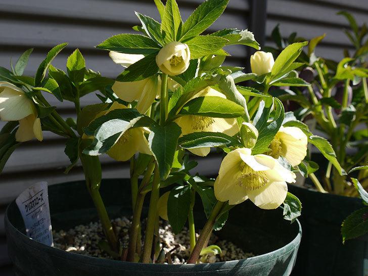 オリエンタリス-黄緑のシングルの花が増えてきた。2017年-5.jpg