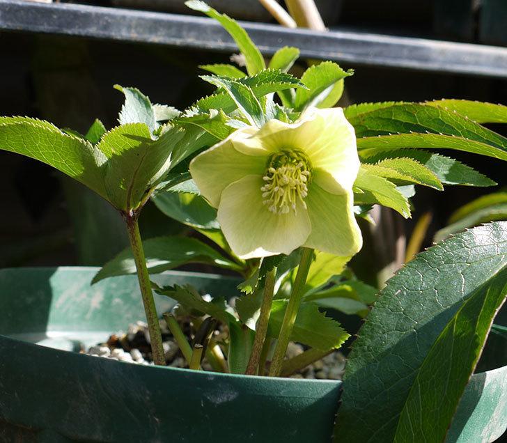 オリエンタリス-黄緑のシングルの花が増えてきた。2017年-6.jpg