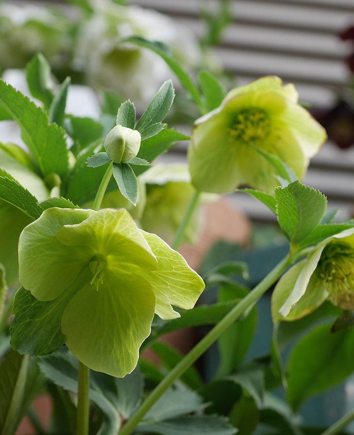 オリエンタリス-黄緑のシングルの花が増えて来た。2020年-4.jpg