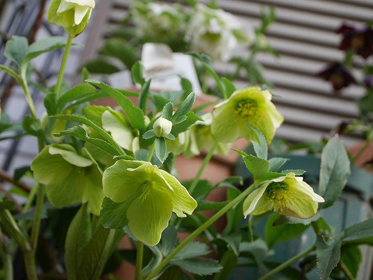 オリエンタリス-黄緑のシングルの花が増えて来た。2020年-7.jpg