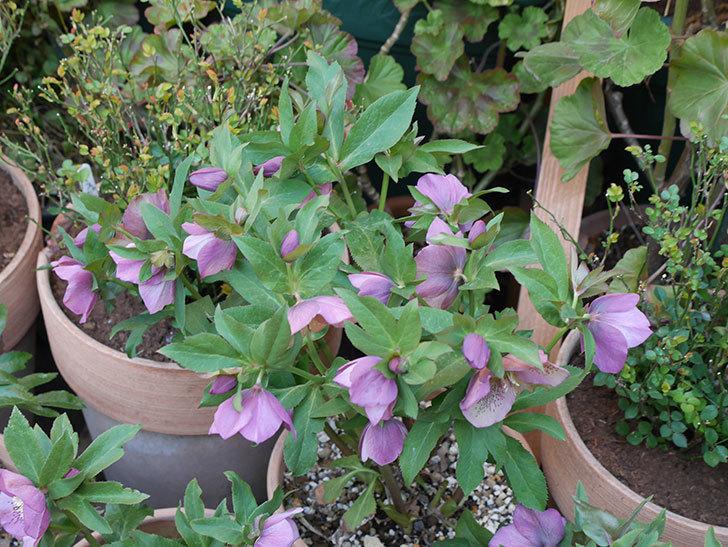 オリエンタリス 紫のシングルの花がかなり咲いた。2021年-001.jpg
