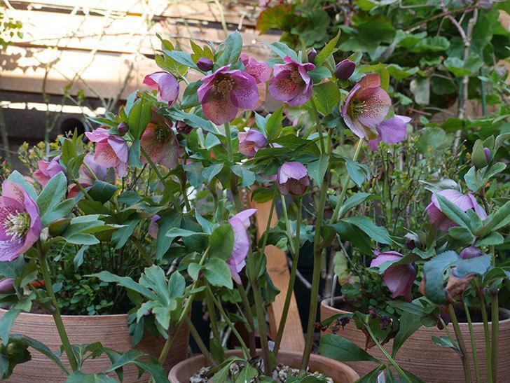 オリエンタリス 紫のシングルの花がかなり咲いた。2021年-002.jpg