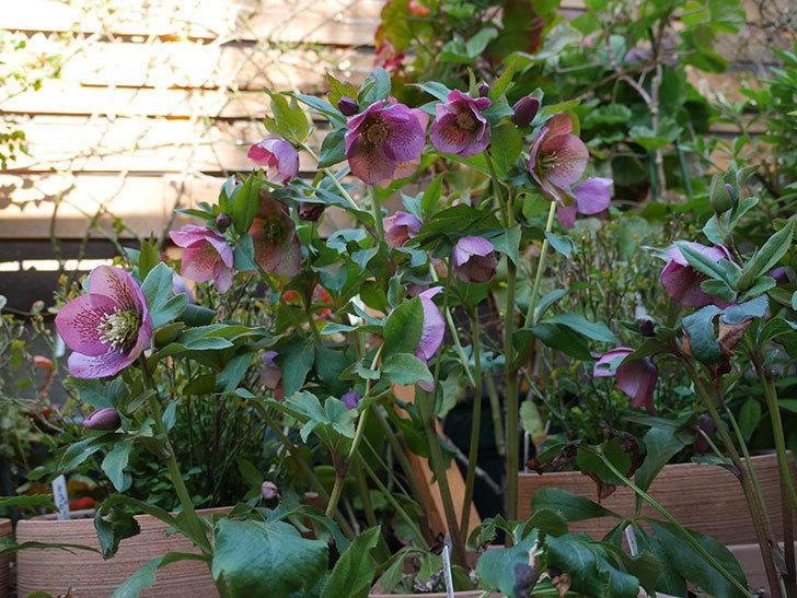 オリエンタリス 紫のシングルの花がかなり咲いた。2021年-003.jpg