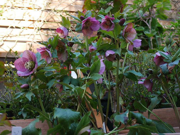 オリエンタリス 紫のシングルの花がかなり咲いた。2021年-004.jpg