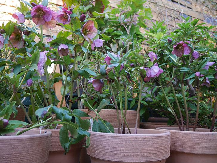 オリエンタリス 紫のシングルの花がかなり咲いた。2021年-006.jpg