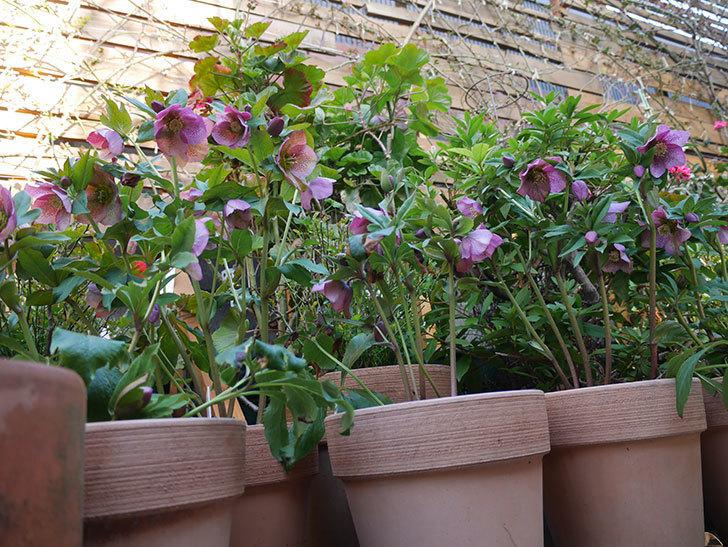 オリエンタリス 紫のシングルの花がかなり咲いた。2021年-007.jpg