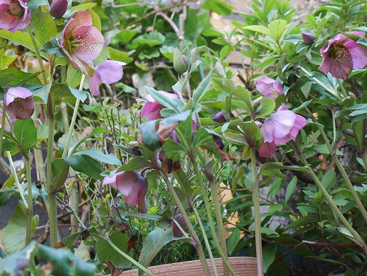 オリエンタリス 紫のシングルの花がかなり咲いた。2021年-008.jpg