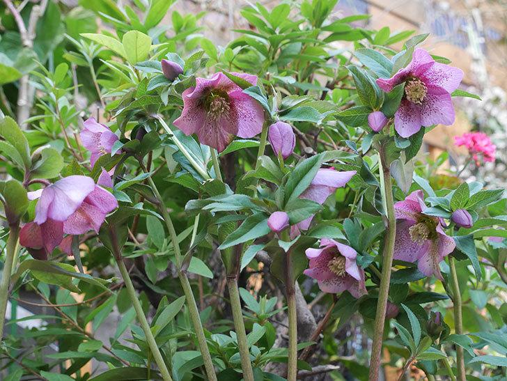オリエンタリス 紫のシングルの花がかなり咲いた。2021年-009.jpg