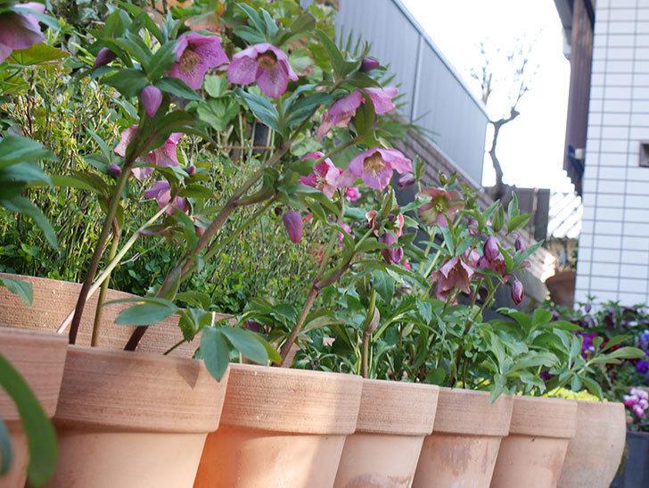 オリエンタリス 紫のシングルの花がかなり咲いた。2021年-011.jpg