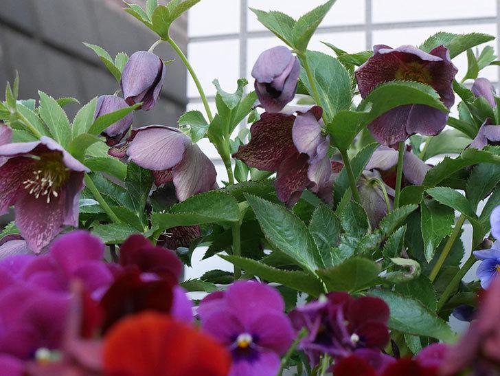 オリエンタリス 紫のシングルの花がかなり咲いた。2021年-012.jpg