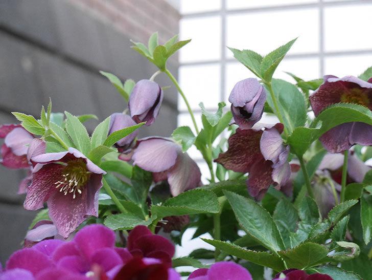オリエンタリス 紫のシングルの花がかなり咲いた。2021年-013.jpg