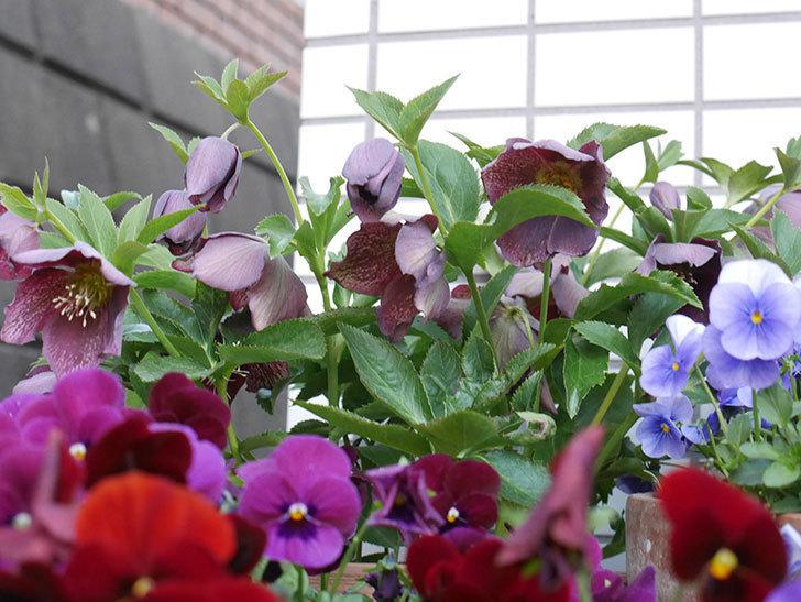 オリエンタリス 紫のシングルの花がかなり咲いた。2021年-014.jpg