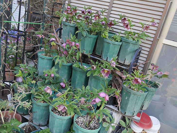 オリエンタリス 紫のシングルの花がかなり咲いた。2021年-015.jpg