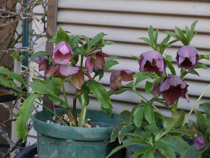 オリエンタリス 紫のシングルの花がかなり咲いた。2021年-016.jpg