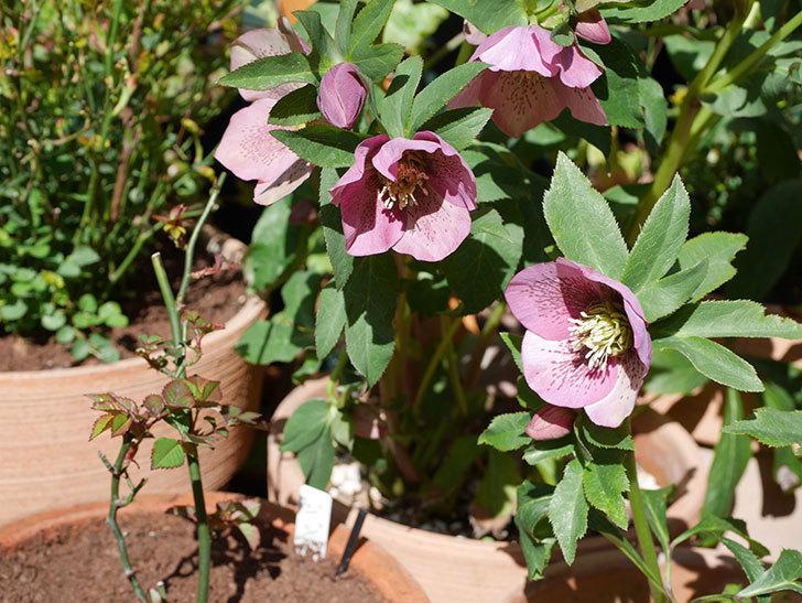 オリエンタリス 紫のシングルの花がかなり咲いた。2021年-019.jpg