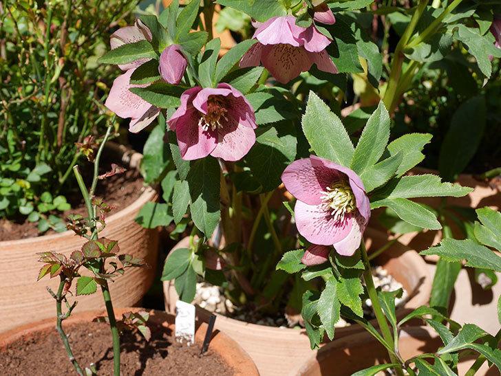 オリエンタリス 紫のシングルの花がかなり咲いた。2021年-020.jpg