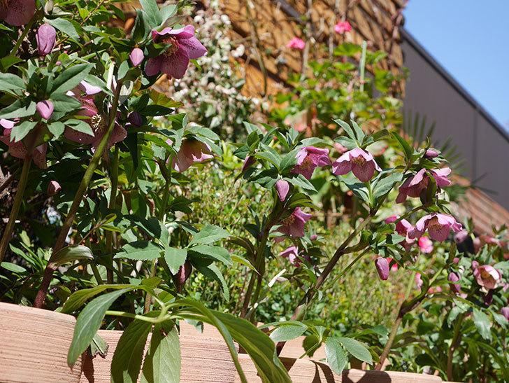 オリエンタリス 紫のシングルの花がかなり咲いた。2021年-027.jpg