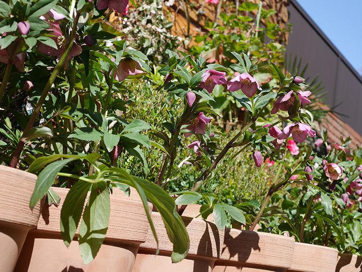 オリエンタリス 紫のシングルの花がかなり咲いた。2021年-028.jpg