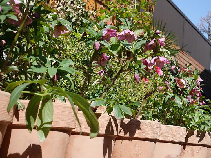 オリエンタリス 紫のシングルの花がかなり咲いた。2021年-029.jpg