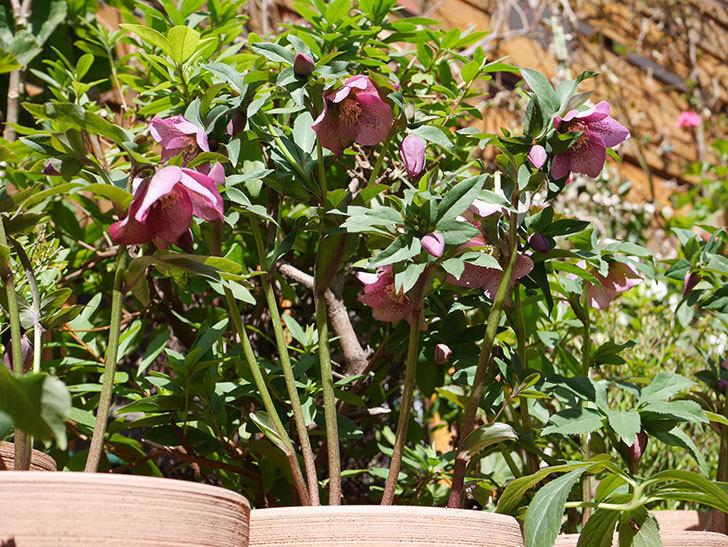オリエンタリス 紫のシングルの花がかなり咲いた。2021年-030.jpg