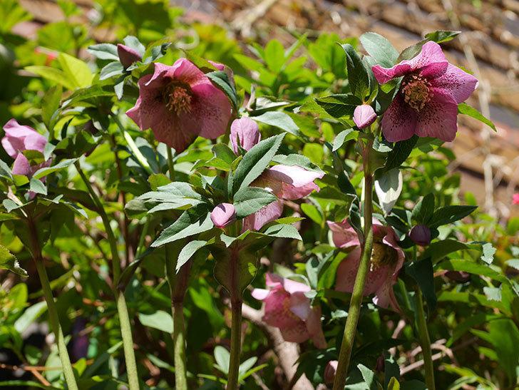 オリエンタリス 紫のシングルの花がかなり咲いた。2021年-032.jpg