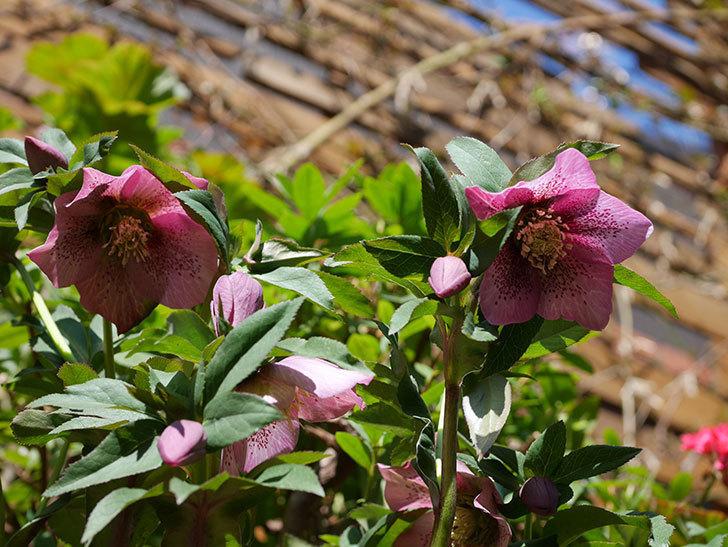 オリエンタリス 紫のシングルの花がかなり咲いた。2021年-033.jpg