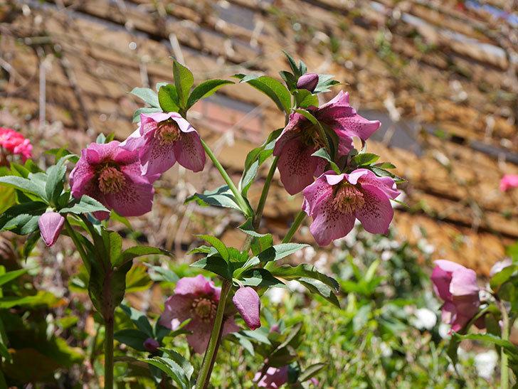 オリエンタリス 紫のシングルの花がかなり咲いた。2021年-034.jpg