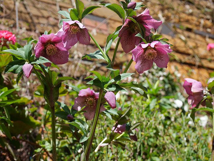 オリエンタリス 紫のシングルの花がかなり咲いた。2021年-035.jpg